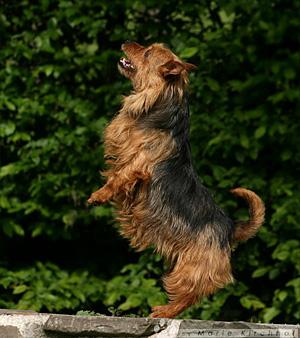 Australian Terrier - Wesen